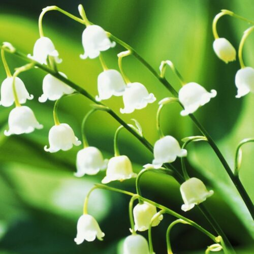 Lilly of the Valley άρωμα σαπουνιού