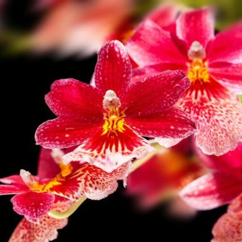 Methystic Orchid άρωμα σαπουνιού